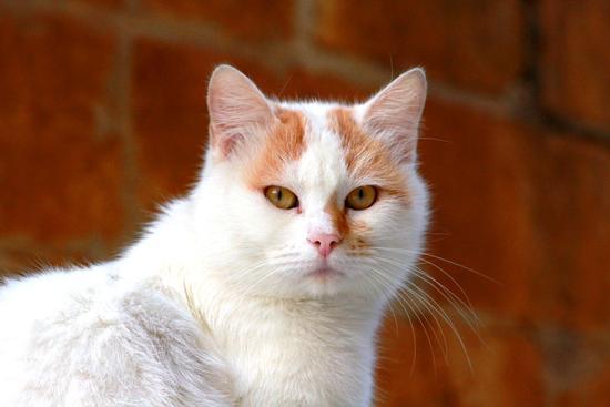 (ELMO) il gatto del mio vicino di casa   CALTANISSETTA   Fotografia di Danilo Mammano