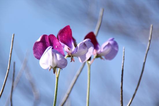 Fiori in primavera - Caltanissetta (1754 clic)