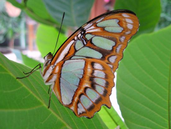 Una farfalla di Bordano (1866 clic)
