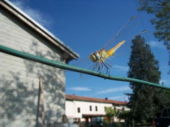 Libellula - Cereseto (1231 clic)