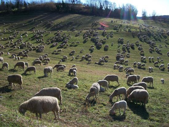 GREGGE AL PASCOLO - Cereseto (1366 clic)