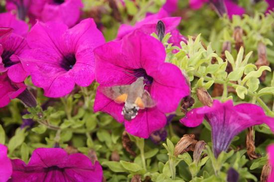 di fiore in fiore - Isola d'elba (1249 clic)