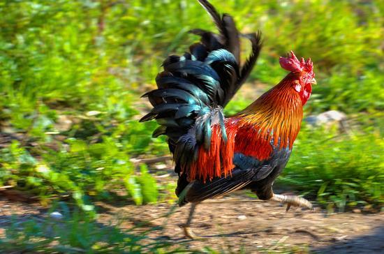Gallo frettoloso - Merine (1547 clic)