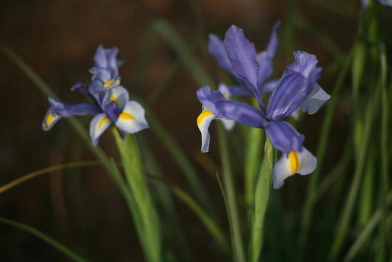 Iris - Triggianello (1328 clic)