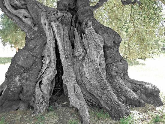 Tra gli ulivi di Ostuni (1012 clic)