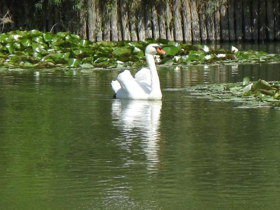 lago dei cigni - Firenze (1169 clic)