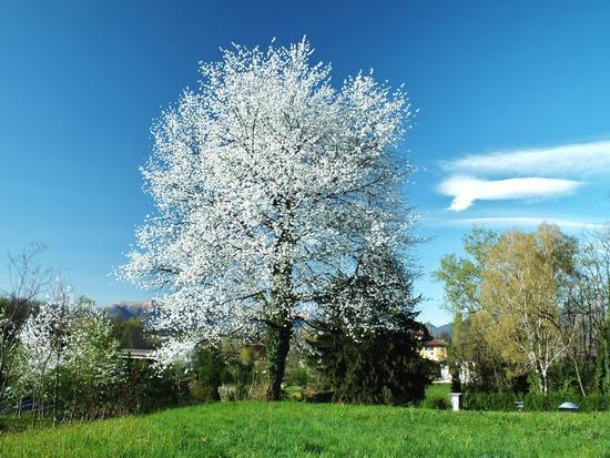 IL BIANCO DEI CILIEGI - Giussano (932 clic)