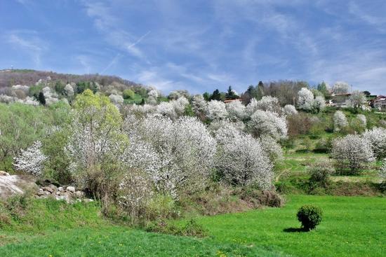 CILIEGI  SELVATICI - Colle brianza (933 clic)