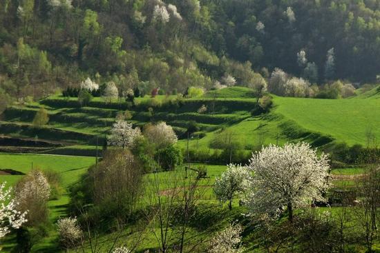 MACCIE BIANCHE TRA IL VERDE - Galbiate (821 clic)
