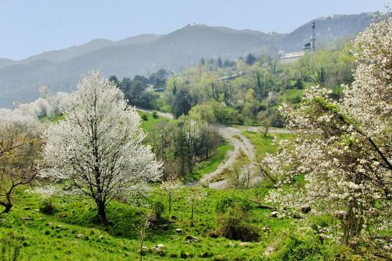 FIORITURA DI CILIEGI - Garlate (777 clic)