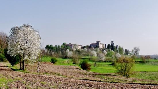 CILIEGI IN FIORE - Alzate brianza (1231 clic)