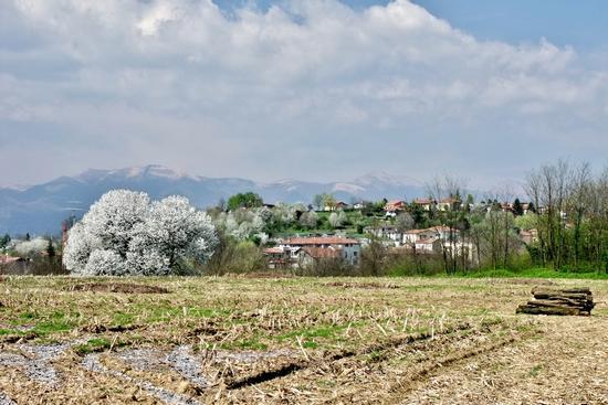CAMPAGNA IN PRIMAVERA CON CILIEGIO - Besana in brianza (1165 clic)