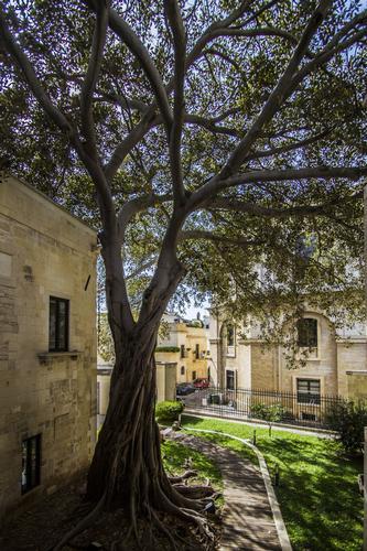Ficus pluricentenario - Lecce (923 clic)