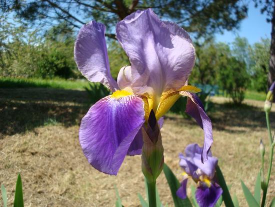 iris - Rignano sull'arno (1271 clic)