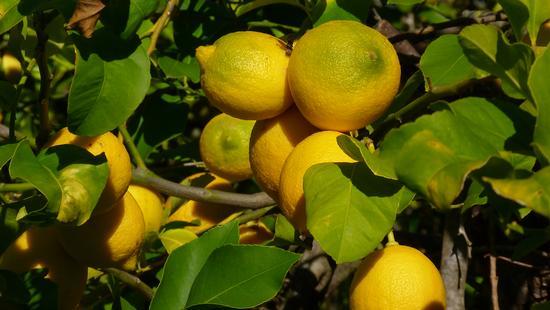 I limoni di Avola (2171 clic)