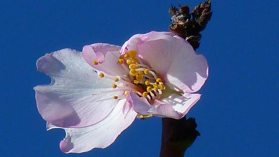 Fiore di mandorlo - MODICA - inserita il 12-Feb-13