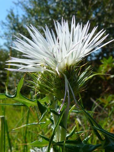 Fiore di cardo - Modica (1345 clic)