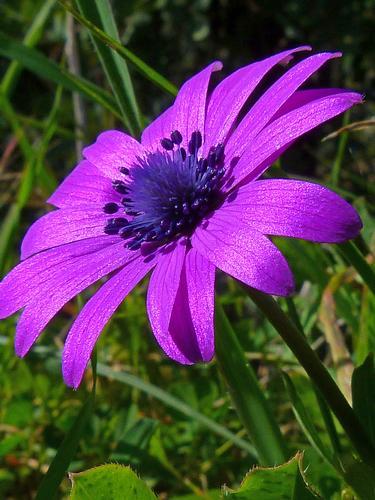 Anemone hortensis - Modica (1345 clic)