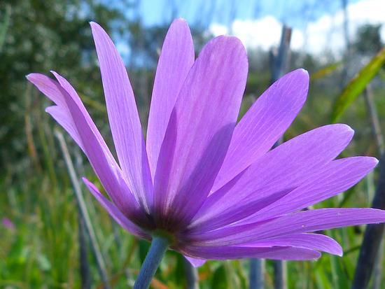 Anemone hortensis - Modica (1279 clic)