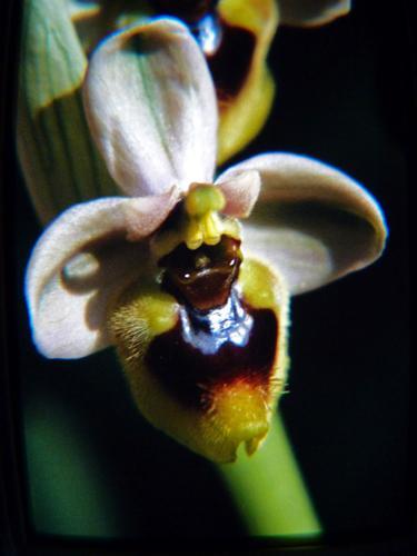 Ophrys apifera (riproduzione dia) - Marina di modica (2088 clic)