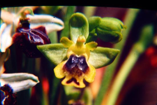 Ophrys lutea - Marina di modica (1598 clic)