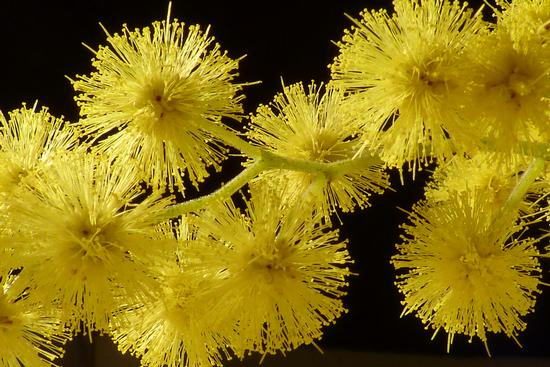 Infiorescenze di Mimosa(macrofoto) - Modica (1334 clic)