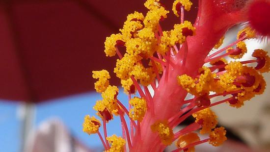 Hibiscus:.....e grappoli di stami - Marina di modica (2222 clic)
