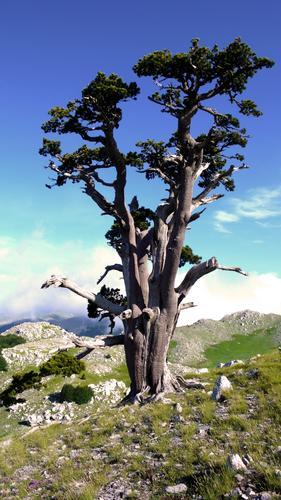 Pino loricato su Monte Pollino - Massiccio del pollino (2196 clic)