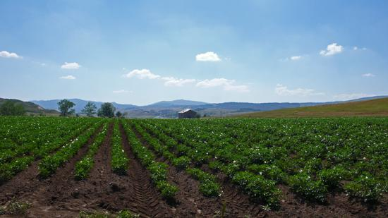 campo di patate in sila (897 clic)