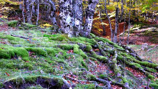 Foresta della Fagosa - Civita (1114 clic)