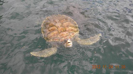 tartaruga marina (554 clic)