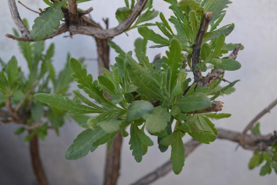 Germogli di lavanda - Torregrotta (1076 clic)