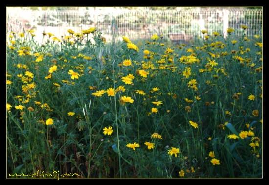 Campo di Margherite Gialle - Cannatello (4174 clic)