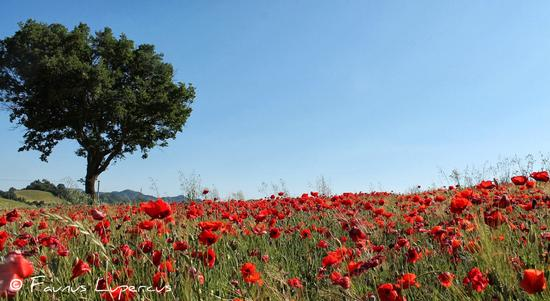 Campo fiorito - Sant'angelo in vado (2014 clic)