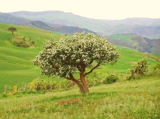 l'albero in fiore - Villarosa (1360 clic)