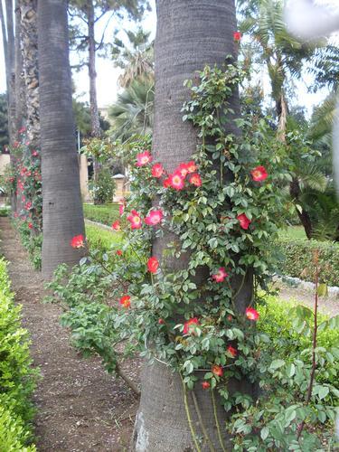 Albero in fiore  - Palermo (1004 clic)