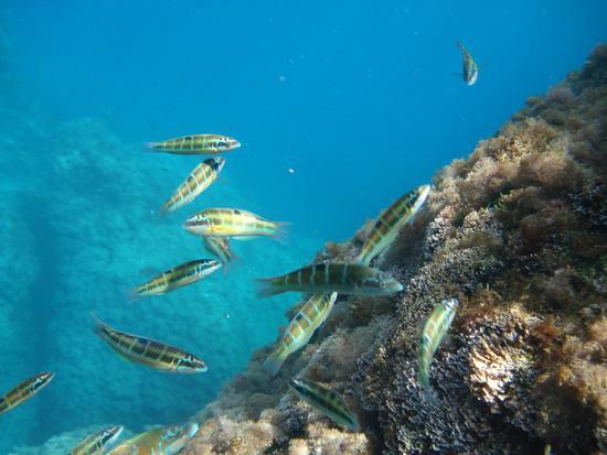 pesci multicolore - Riserva dello zingaro (1818 clic)