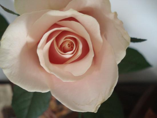 rosa (338 clic)