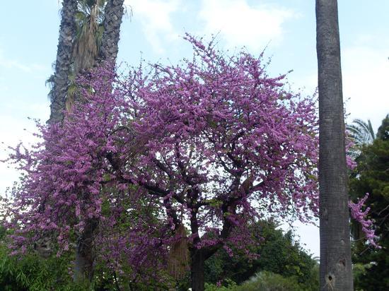 albero di lavanda - Palermo (1959 clic)