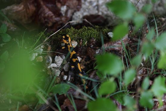 Una salamandra sul sentiero della natura - Picinisco (429 clic)