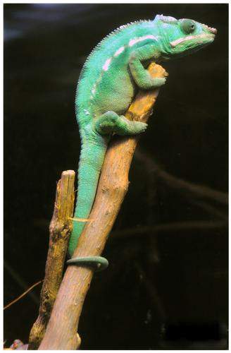Chameleon - Chamonix (1409 clic)