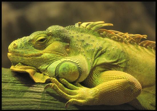 Iguana - Monte contessa (1068 clic)