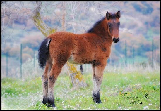 Il cavallo siciliano - Valguarnera caropepe (2027 clic)