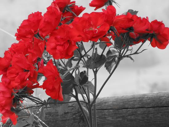 rose rosse - Stava (1283 clic)