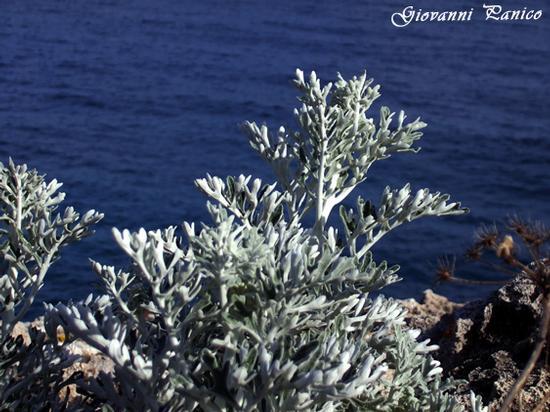 Cineraria - Tricase porto (1055 clic)