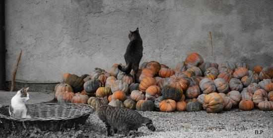 gatti e zucche - Casalgrande (2129 clic)