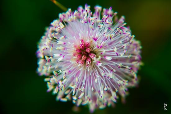 fiori di montagna -  - inserita il 20-Jun-14