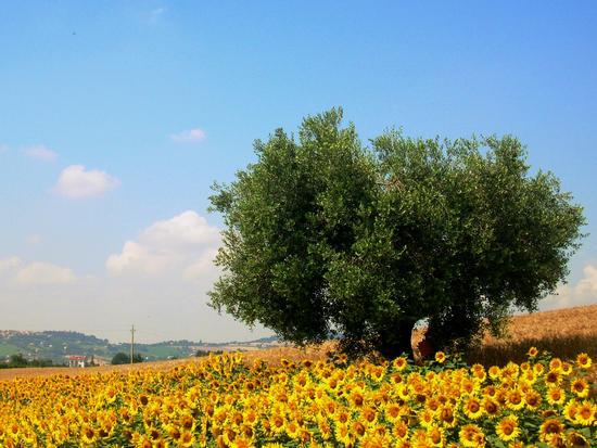 Campagna osimana - Osimo (7128 clic)