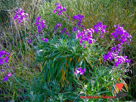 I fiori di Ginostra (525 clic)