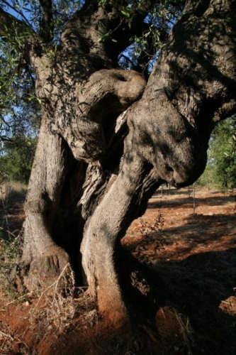 ulivo rettile millenario - Carovigno (3781 clic)